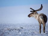 Barren Ground Caribou, Arctic National Wildlife Refuge, Alaska, USA Photographic Print by Steve Kazlowski