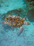 Green Turtle, Bocas Del Torro Island, Panama Photographic Print by Gavriel Jecan