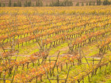 Vineyards in Fall Colors, Juanico Winery, Uruguay Photographic Print by Stuart Westmoreland