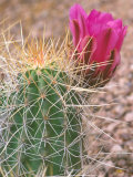 Strawberry Hedgehog Cactus, Desert Botanical Museum, Phoenix, Arizona, USA Photographic Print by Rob Tilley