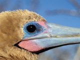 Red Footed Booby, Galapagos Islands, Ecuador Photographie par Jack Stein Grove
