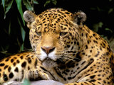 Jaguar, Amazon, Ecuador Photographie par Pete Oxford