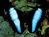 Morpho Butterfly, Rain Forest, Ecuador Fotodruck von Pete Oxford