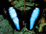 Morpho Butterfly, Rain Forest, Ecuador Photographic Print by Pete Oxford