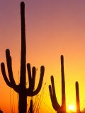 Saguaro Sunset, Saguaro National Park, Arizona, USA Photographic Print by Rob Tilley