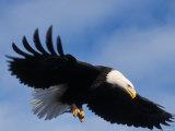 Bald Eagle Flying with a Fish, Kachemak Bay, Alaska, USA Fotografiskt tryck av Steve Kazlowski