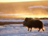 Muskox Bull Silhouetted at Sunset, North Slope of the Brooks Range, Alaska, USA Photographic Print by Steve Kazlowski
