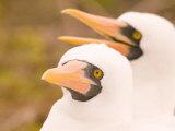 Masked Booby, Punta Suarez, Espanola Island, Galapagos Islands National Park, Ecuador Photographie par Stuart Westmoreland