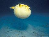 Pufferfish, Galapagos Islands, Ecuador Fotografisk tryk af Jack Stein Grove