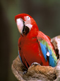 Red and Green Macaw, Amazon, Ecuador Photographic Print by Pete Oxford