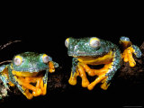 Leaf Frogs, Amazon, Ecuador Photographic Print by Pete Oxford