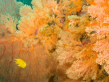 Golden Dream Reef, Bligh Water Area, Viti Levu, Fiji Islands, South Pacific Photographic Print by Stuart Westmoreland