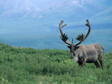 Caribou and Fresh Snow, Denali National Park, Alaska, USA Photographic Print by Howie Garber