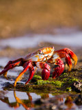 Sally Lightfoot Crabs, Puerto Egas, Galapagos Islands National Park, Ecuador Fotodruck von Stuart Westmoreland