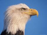 Bald Eagle Pofile in Kachemak Bay, Alaska, USA 写真プリント : スティーブ・カズロウスキイ