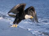 Bald Eagle in Flight with Fish in Kachemak Bay, Alaska, USA Fotodruck von Steve Kazlowski