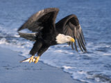 Bald Eagle in Flight with Fish in Kachemak Bay, Alaska, USA Photographic Print by Steve Kazlowski