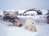 Polar Bear Sow with Spring Cubs Scavenging on a Bowhead Whale, Alaska, USA Photographic Print by Steve Kazlowski