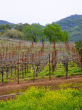 Vineyards in Early Spring, Sonoma Valley, California, USA Photographic Print by Julie Eggers