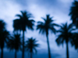 Palms along Ocean Avenue, Santa Monica, Los Angeles, California, USA Photographic Print by Walter Bibikow