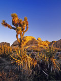 Jumbo rocks at Joshua Tree National Park, California, USA Photographic Print by Chuck Haney