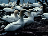 Beautiful Gannets Nesting Photographie