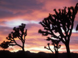 Joshua Tree at Sunset in Joshua Tree National Park, California, USA Photographic Print by Steve Kazlowski