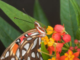 Gulf Fritillary Butterfly on Milkweed Flowers, Florida Photographic Print by Maresa Pryor
