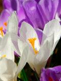 Crocus, Reading, Massachusetts Photographic Print by Lisa S. Engelbrecht