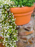 Pot of Flowering Bacopa at Viansa Winery, Sonoma Valley, California, USA Photographic Print by Julie Eggers