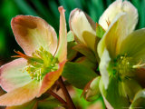 Hellebores, Reading, Massachusetts Photographic Print by Lisa S. Engelbrecht