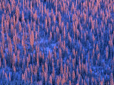 Alpenglow Light on Winter Forest, Whitefish Range, Montana, USA Stampa fotografica di Chuck Haney