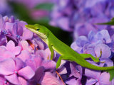 Lizard on Hydrangea, Savannah, Georgia, USA Photographic Print by Joanne Wells