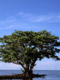 Connie Bransilver - Red Mangrove, Turtle Key, 10,000 Islands, Everglades, Florida, USA Fotografická reprodukce