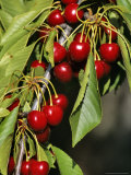 Flathead Cherries in Polson, Montana, USA Photographic Print by Chuck Haney