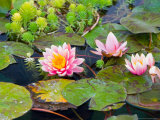 Water Lilies in Pool at Darioush Winery, Napa Valley, California, USA Photographic Print by Julie Eggers