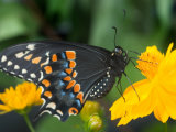 Male Black Swallowtail on Yellow Cosmos, Florida Photographic Print by Maresa Pryor