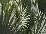Close-up of Dull Green Palm Frond Leaves Photographic Print