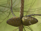 Close-up of Fresh Pine Cones on a Pine Tree Branch Photographic Print