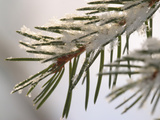 Close-up of Cold Pine Needles Covered with Snow Photographic Print