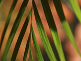 Close-up of a Green Shadowy Palm Frond Photographic Print