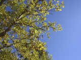 Lush Green Leaves on Tree Branches Against Deep Blue Sky Photographic Print