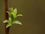 Close-up of a Brown Branch and a Fresh Green Leafy Bud Photographic Print