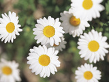Close-up of Several White Daisies Photographic Print