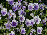 Many Colorful Little Violets Blooming Photographie