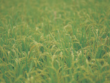 Expanse of Lush Green Crops Photographic Print