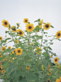 Cheerful Yellow Sunflowers Photographic Print