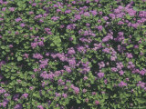 An Expanse of Purple Wildflower Blossoms Photographic Print