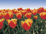 An Expanse of Bright Red and Orange Tulips Photographic Print