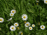 Bright White and Yellow Daisies Against Green Grass Photographic Print